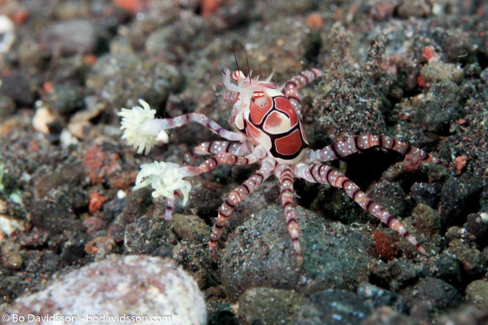 BD-130401-Tulamben-8786-Lybia-tessellata-(Latreille-in-Milbert.-1812)-[Mosaic-boxer-crab].jpg